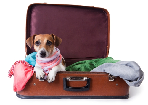 A jack russell in a suitcase