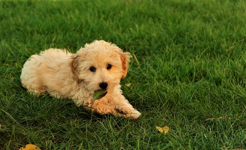 A Cockapoo laid on the grass